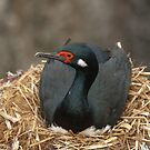 Nesting Shag by Craig Goldsmith