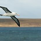 Black Browed Albatross by Craig Goldsmith