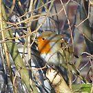 Robin by Audrey Clarke