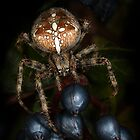 Araneus by jimmy hoffman