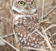 """""""Get Your Head On Straight"""" - Burrowing Owl by John Hartung"""