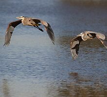1204101 Great Blue Herons by Marvin Collins