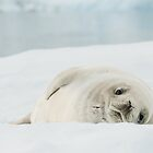 Snow White Seal by Craig Goldsmith
