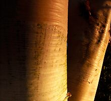 Betula ermanii by Andrew Leighton