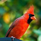 ~Winter Cardinal_2~ by Kelly Normandeau