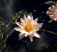Waterlily - fall series by dandefensor