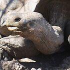 giant tortoise by tripi100