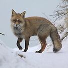 Fox in the snow  by DutchLumix