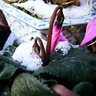 Cyclamen in the frost by knockknock