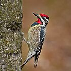 Yellow bellied sapsucker by Daniel  Parent