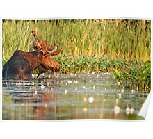 Moose In The Marsh Poster