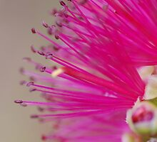 A Brush of Pink by Kate Hibbert