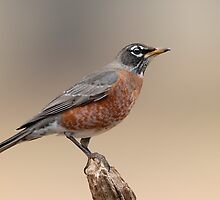 Solitary Robin by Bonnie T.  Barry