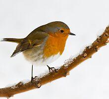 Robin Repose by Jacky Parker