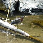 Green Heron on the river by Nichespur