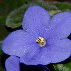A Violet by Joe Bashour