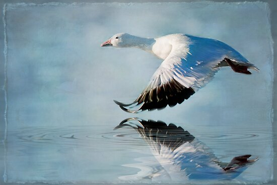 flight of the snow goose by bettywiley