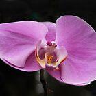 An orchid flower  by Joe Bashour