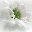 ~ White Beauty ~ by Brenda Boisvert