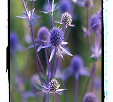 Sea Holly by tj57
