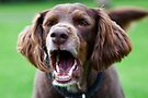 Barking or Shouting? by Chris Westinghouse