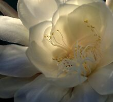 Queen of the Night at Daybreak by a~m .