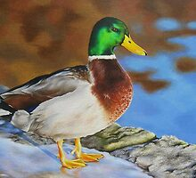Mallard duck on ice by lanadi