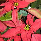 Poinsettia by Christopher Clark