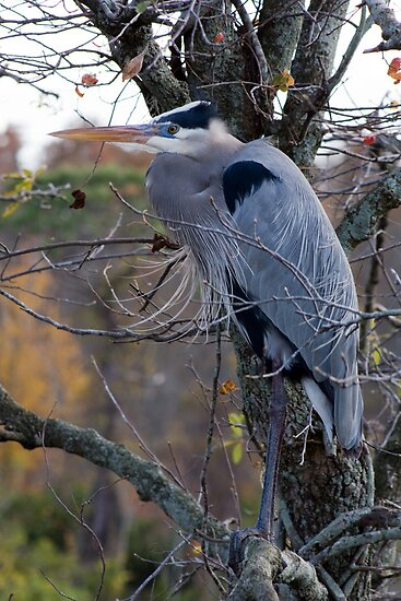 Blue Heron by Michael Damanski