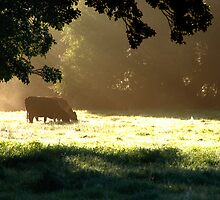 Cattle in dawn's first light by Christopher Cullen