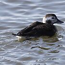 Long tailed female duck by Dennis Cheeseman