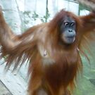 Mom on the Move - Orangutan at Toronto Zoo by annekwomack