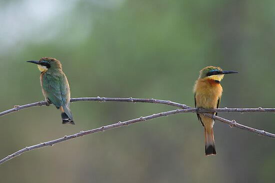 Little Bee-eaters by naturalnomad