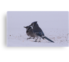 Two Blue Jays Canvas Print