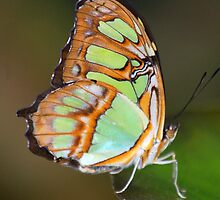 Malachite Butterfly by Janice McCafferty