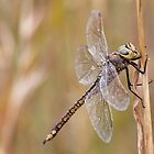 Australian Emperor Dragonfly by Will Hore-Lacy