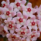 Pink Hoya by Penny Smith