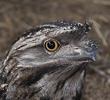 Frogmouth Owl by StaceyH