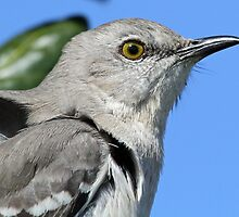 Mocking bird up close and personal by jozi1