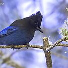 Steller's Jay in winter by amontanaview
