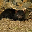 Tasmanian Devil, Cradle Mountain by SusanAdey