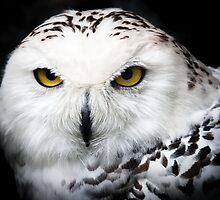Snowy Owl by Alain Turgeon