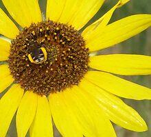 Sunflower Love by AmyBuchmeier