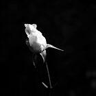 White Rose II by Igor Shrayer