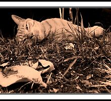 ginger cat reaxing in the sun by rkdownton