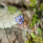 Blue Eyed Grass by Mike Oxley