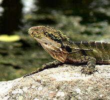 Eastern water dragon, Gold Coast, Australia by krista121
