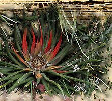 a flowering aloe in mid winter in Devon by Anna Goodchild