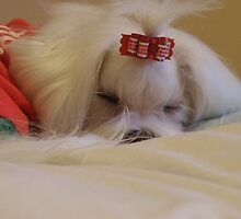 Sleeping maltese dog by malteseplease