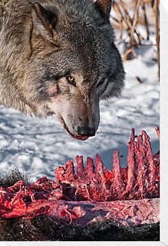 Timber Wolf with Carcass by Michael Cummings